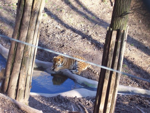 Nový výběh tygrů ussurijských v Zoo Plzeň, zdroj: wikipedia.org